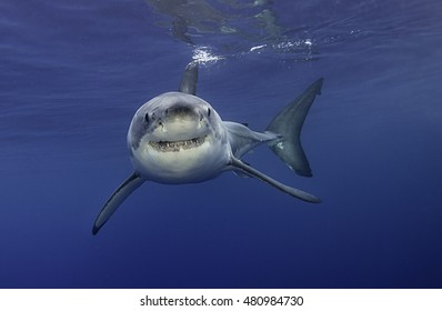 Great white shark swimming near the surface,  Guadalupe Island Mexico.