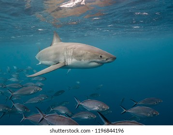 Great white shark swimming with a school of trevally jacks, Neptune Islands, South Australia.