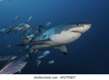 Great white shark swimming through a school of trevally jacks, Neptune Islands, South Australia.