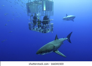 Great white shark swims around the cage