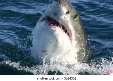 A great white shark taken in South Africa