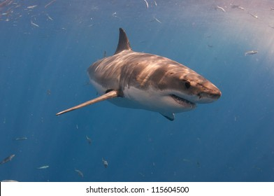 A great white shark turns through the water at a popular dive tourism destination at Guadeloupe island Mexico.