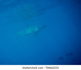 A Great White Shark Under the Surface