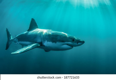 Great white shark underwater at Gansbaai.