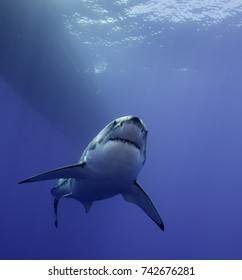 Great white shark underwater, Guadalupe Island, Mexico.