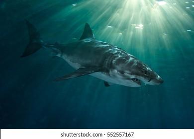 Great White Shark Underwater Photo in Pacific ocean
