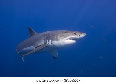 Great white shark very close from the side in clear blue water.