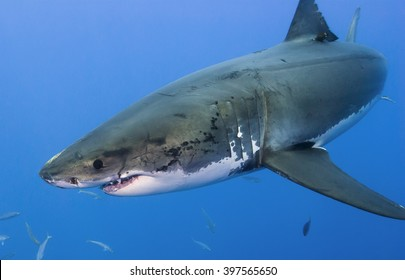 Great white shark very close in clear blue water.