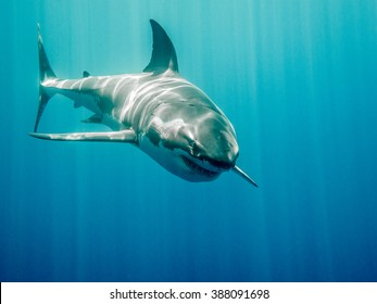 Great white shark who looks like Bruce from Finding Nemo movie in the blue Pacific Ocean  at Guadalupe Island in Mexico under sun rays
