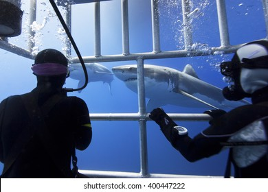 Great white sharks in clear blue water with scuba divers in a diving cage in the front.