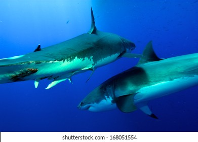 great white Sharks fighting