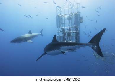 Great white sharks in front of a diving cage with scuba divers.