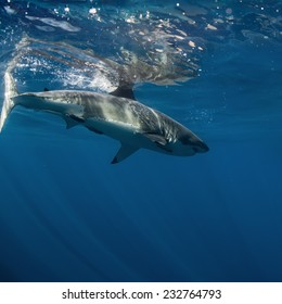 Great White Sharks in The Ocean