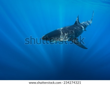 Great White Sharks in The Ocean. View in to deep