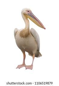 Great white-pelican, Pelecanus onocrotalus, single bird on log,  Romania, July 2017