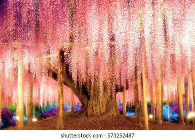 The great wisteria flower,ASHIKAGA,Japan