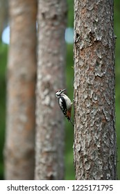 Great woodpecker in forest, trees in a background