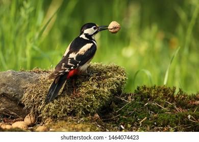 Great woodpecker with walnut on the garden