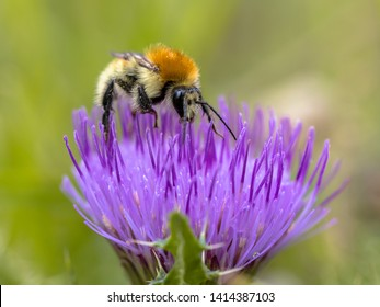 Great yellow bumblebee (Bombus distinguendus). Wild bee on wildflower eating nectar in nature reserve in Cevennes, France