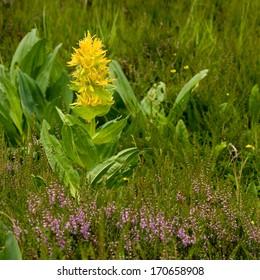 Great yellow gentian (Gentiana lutea)