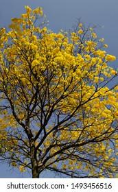 Great yellow ipe in Belo Horizonte