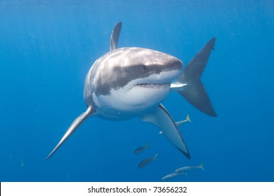 Great_White_Shark_at_Guadalupe_Island_Mexico