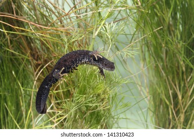 Great-crested newt, Triturus cristatus, single animal under water, Midlands, April 2005