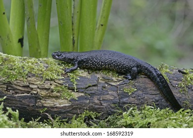 Great-crested newt, Triturus cristatus, single female