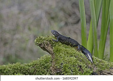 Great-crested newt, Triturus cristatus, single male
