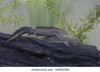 Great-crested newt, Triturus cristatus, two newts