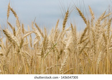Greate gold ears of wheat field on a cloudy day. Crop field. Rural scene. Shallow depth of field, low angle view