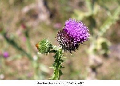 Greater burdock or Arctium lappa or Edible burdock or Lappa or Gobo or Beggars buttons or Thorny burr or Happy major biennial plant with fully closed flower head with orange to yellow top and one open
