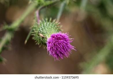 Greater burdock or Arctium lappa or Edible burdock or Lappa or Gobo or Beggars buttons or Thorny burr or Happy major biennial plant top view of brush like purple flower head with pointy leaves and oth