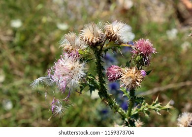 Greater burdock or Arctium lappa or Edible burdock or Lappa or Gobo or Beggars buttons or Thorny burr or Happy major biennial plants in various stages of life from closed flower buds to fully matured