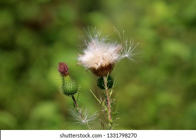 Greater burdock or Arctium lappa or Edible burdock or Lappa or Gobo or Beggars buttons or Thorny burr or Happy major biennial multiple plants in various stages of life from closed flower buds