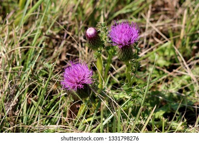 Greater burdock or Arctium lappa or Edible burdock or Lappa or Gobo or Beggars buttons or Thorny burr or Happy major biennial plant with open and closed flower buds surrounded with high grass