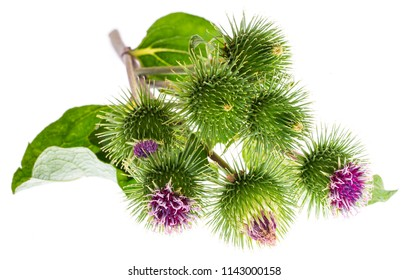 Greater Burdock (Arctium lappa) plant on white background