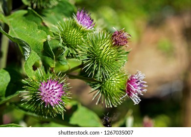 Greater burdock or edible burdock flowers (Arctium lappa)