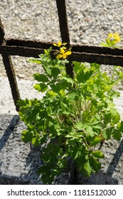 Greater celandine grows by the fence at the pavement
