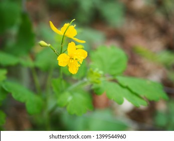 Greater celandine, herb for warts, yellow flower
