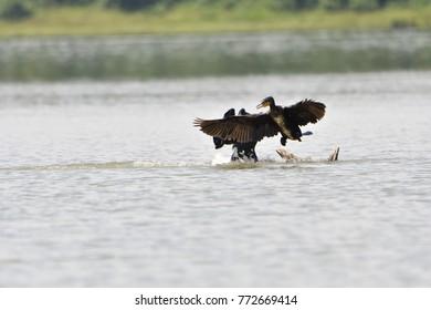 greater cormorants jumping in joy at river waters of kabini at nagarhole national park, india