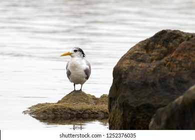 Greater Crested Tern bird standing on rock at Augusta, town on south-west coast of Western Australia (Thalasseus bergii)