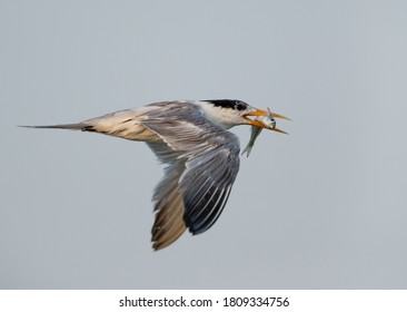 Greater Crested Tern flying with a fish catch at Busaiteen coast, Bahrain