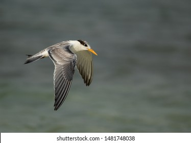 Greater Crested Tern juvenile in flight at Busaiteen coast, Bahrain