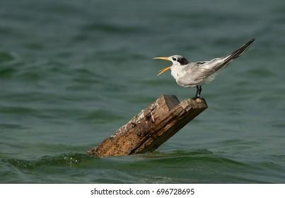 Greater Crested Tern opening its mouth