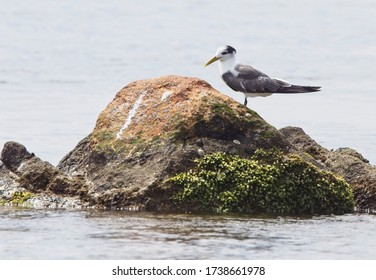 A Greater Crested Tern (Thalasseus bergii) standing on a rock in Fisherman's Bay, (Weligama, Sri Lanka).
