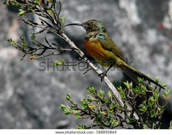Greater Double collared Sun bird
