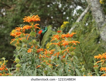 Greater Double-collared Sunbird male drinking nectar at the Leonotis flowers.
