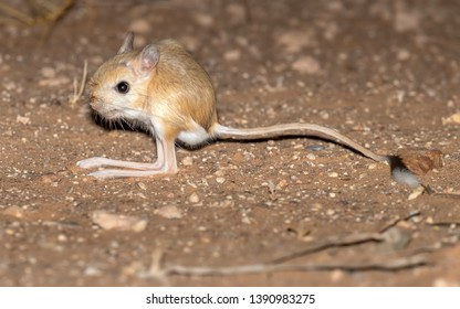 Greater Egyptian Jerboa (Jaculus orientalis) standing on the sandy soil along Dakhla-Aousserd road, Western Sahara, Morocco.