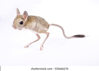greater Egyptian jerboa, Jaculus orientalis